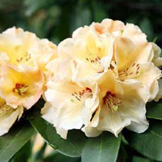 Rhododendron Horizon Monarch 40-50 cm in pot