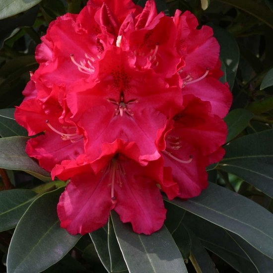 Rhododendron Wilgen's Ruby 40-50 cm in pot